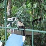Monkey visit at the pool