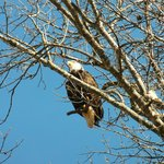 A bald eagle resting in a tree