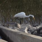 egret fishing for breakfast
