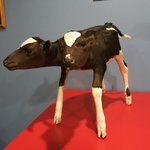 Two headed cow