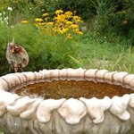 Bird bath and black-eyed Susans