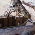 Giraffe Feeding Station