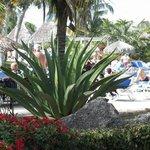 aloe vera plant near pool....wow !