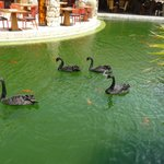 Black swans in water wrapping around property restaurant
