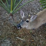 sweet endangered Key Deer