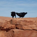 Crows at Guano Point