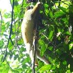 Tico Esteban tour of Corcovado NP - Tamandua climbing tree