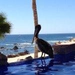 Pelican at pool