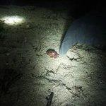 stubby octopus