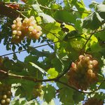 over the head grapes grow