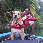 Our dogs in the canoe on the Russian River