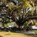 600 + years old Live Oak tree on the ground of the HoJo