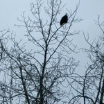 Bald Eagle - not part of conservation center