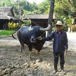 Water Buffallo ploughing