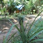 Wild pineapple