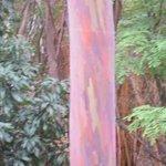Rainbow mahogany