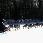 Husky sledge ride