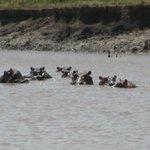 Hippo family, Wami Rvier