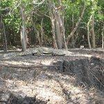 2 metre croc sunbathing at Wami River