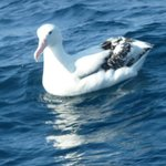 One lovely Albatross