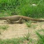 Monitor Lizard in the hotel grounds