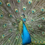 Male Peacock on property