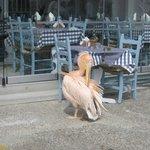 resto pelican