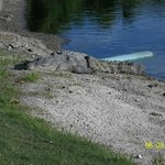 golf course croc