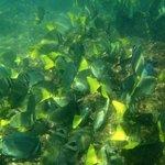 Yellowtail Surgeonfish (off snorkeling beach)