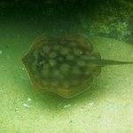 Round Stingray (off snorkeling beach)