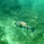 Spotted Porcupinefish (off snorkeling beach)
