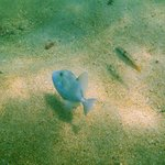 Silver Triggerfish (off snorkeling beach)