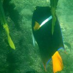 King Angelfish (off snorkeling beach)