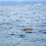 Sea Turtle miles off shore