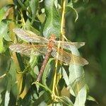 gooderson dragon fly