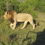 lion passing by, without minding the car