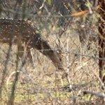 Cheetal deer seen from behind my room