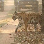 Tiger seen in Magadhi zone safari