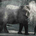 An elephant cooling itself