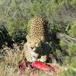 Cheetah on  a kill