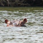one of the dozens of hippo in the river