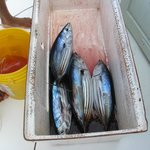 My four skipjack tuna.