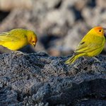 Canaries on lava behind building