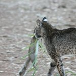 bobcat that had just caught a squirrel