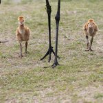sandhill  crane chicks