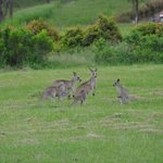 Kangarros feeding outside/nearby the Summer House