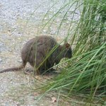Small native animals, pademelons, hop around in the wild