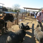Being chased by the Pot-Bellied Pigs at the Donkey Sanctuary