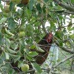 A hen in a tree