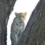 Leopard in Campnähe